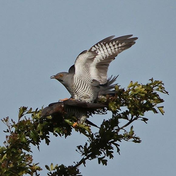 cuckoo-Mike-Flanagan